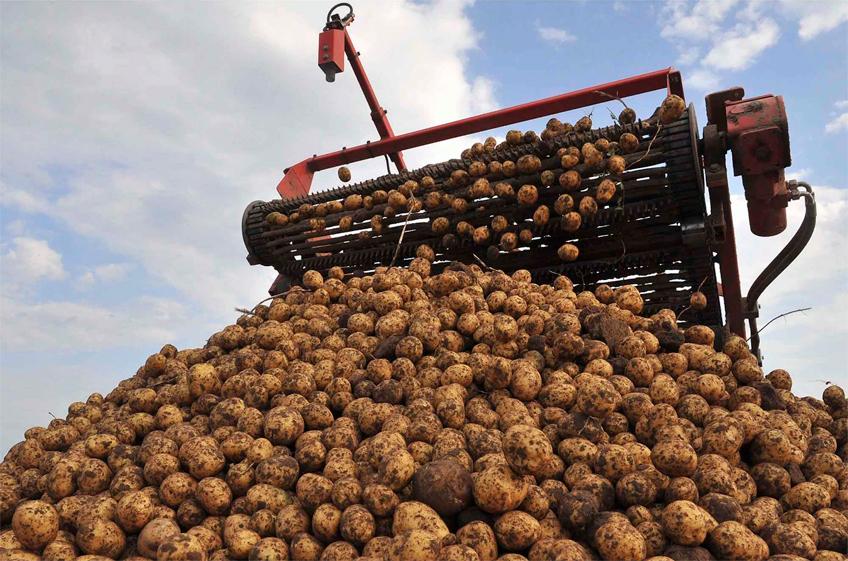 Плодоовощной союз исключил возможность дефицита картофеля в России