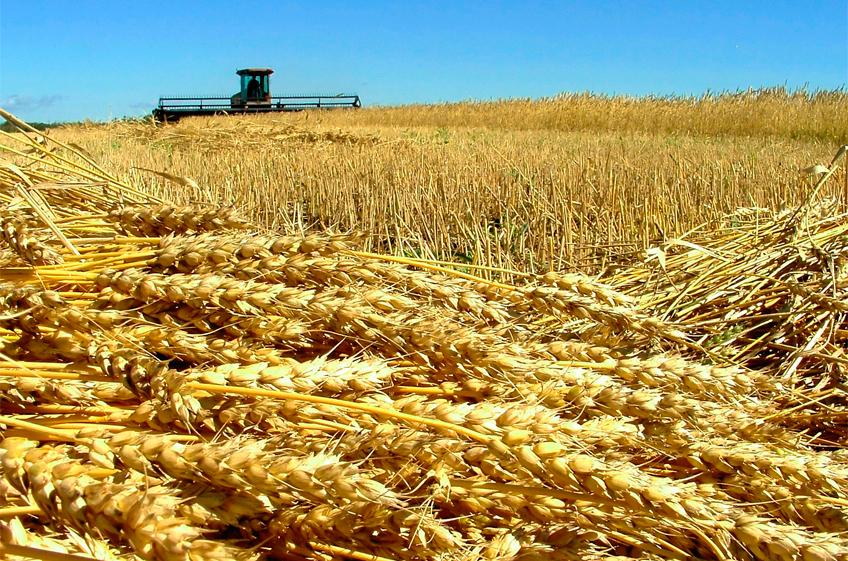 В России собрано 116,6 млн тонн зерна