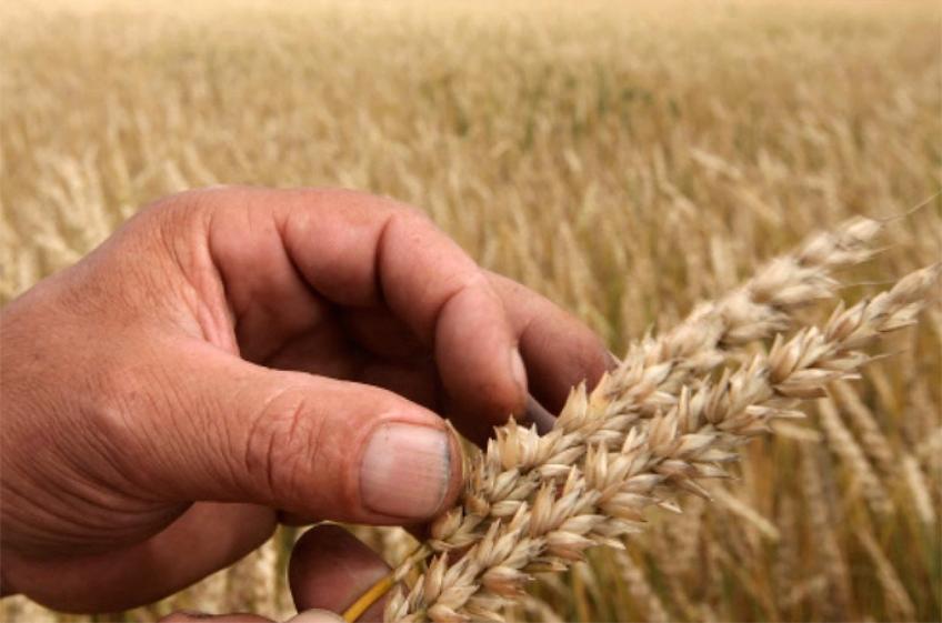 Более 85% обследованной Россельхозцентром пшеницы отнесено к продовольственной
